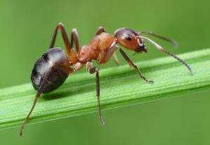 Ameise auf einem Grasblatt - Ameisen im Rasen